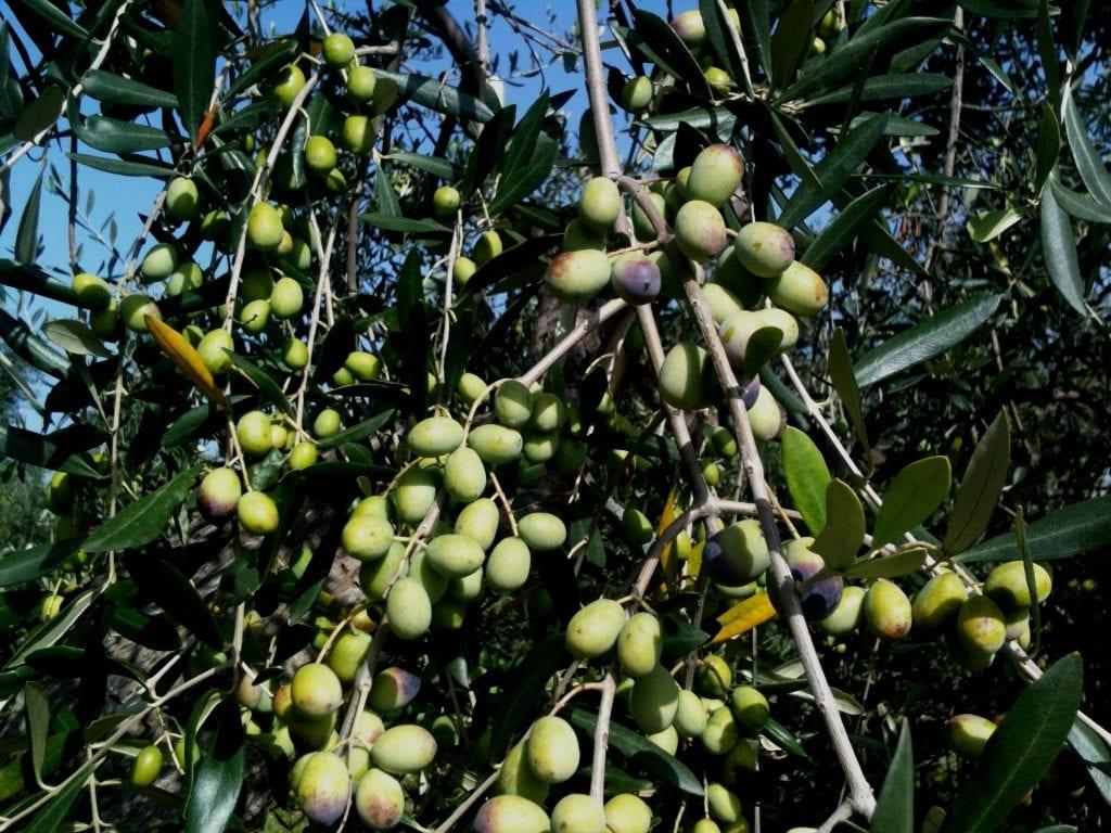 Origins of Olive Oil