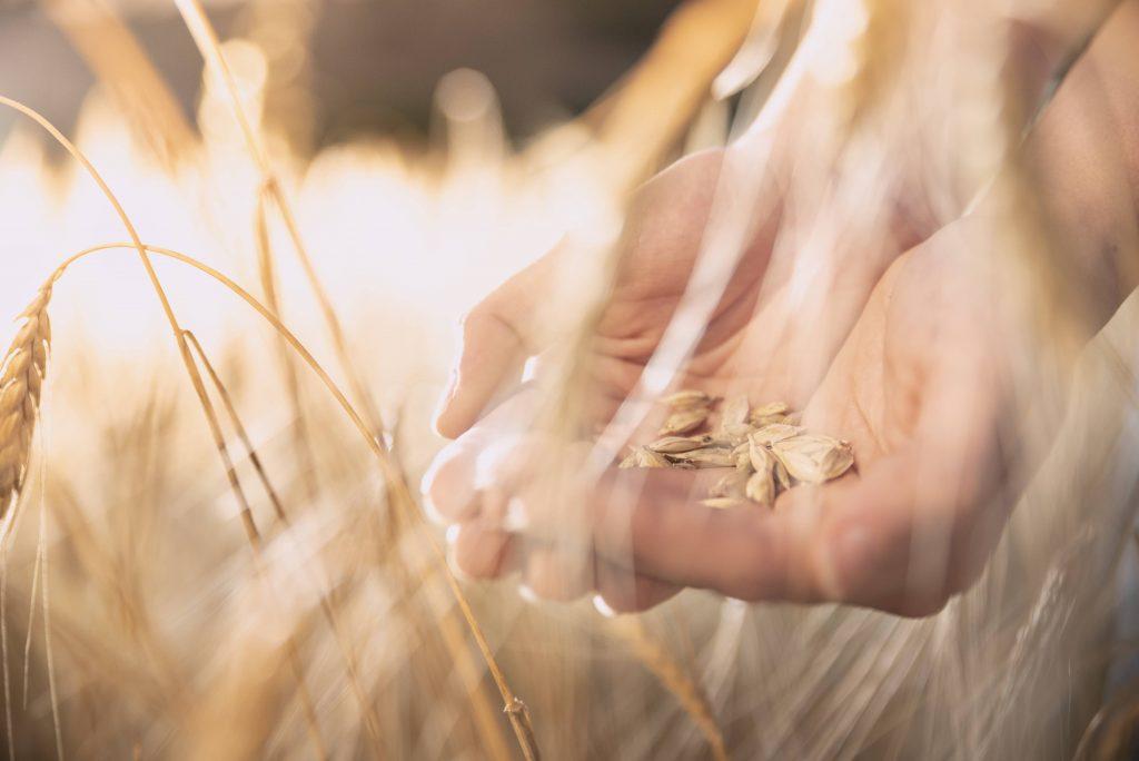 capeiti wheat